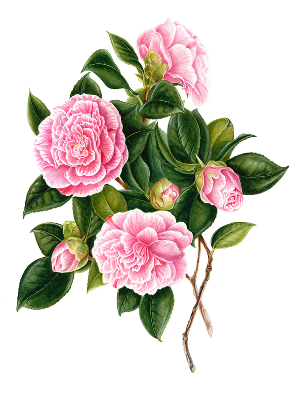 THEACEA Camellia japonica 'Lady Loch'