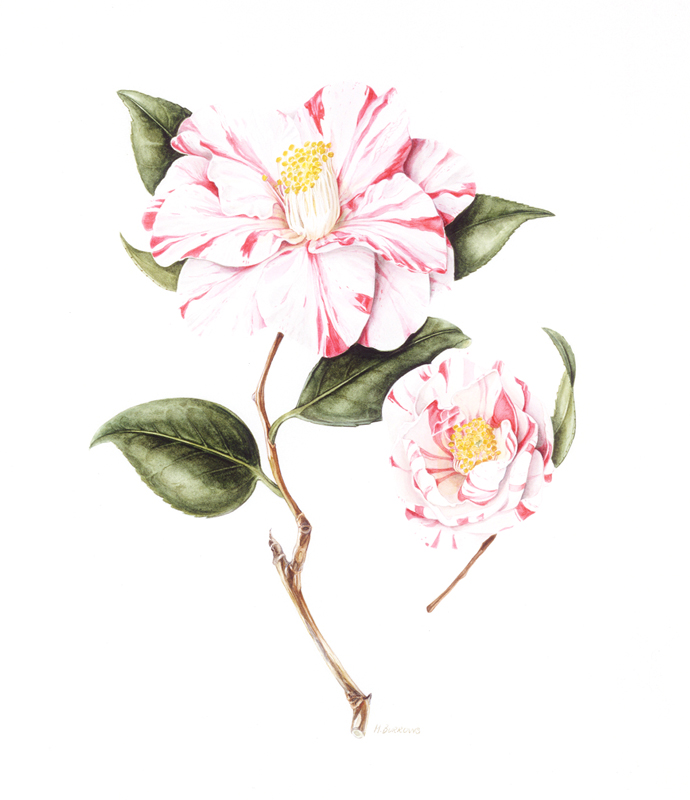 THEACEA Camellia japonica 'Paul Jones Supreme'