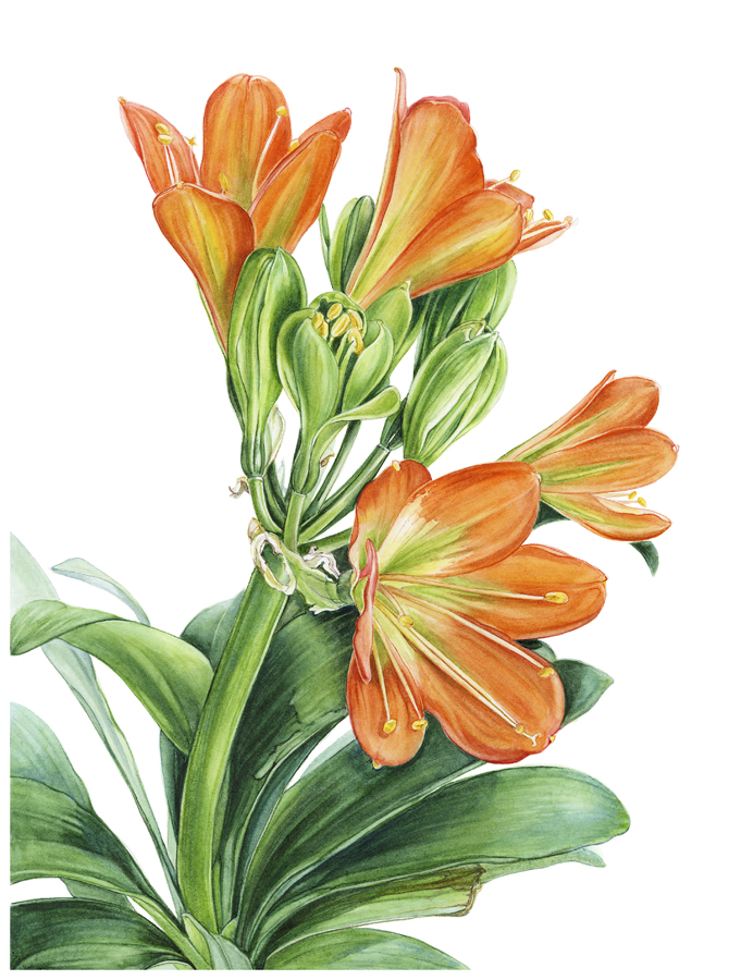Clivia miniata - Bronze/green throated
